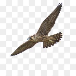Alap Alap Kawah Unduh Gratis Hawk Jim Morris Lingkungan T Shirt Co Peregrine Falcons Alap Alap Kawah Gambar Png