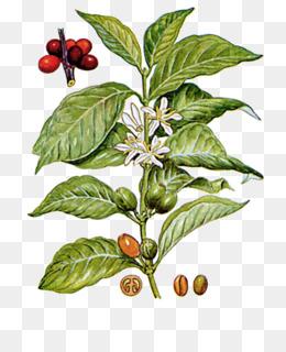 pohon kopi unduh gratis biji kopi coffea biji kopi di coffee tree gambar bahan gambar png pohon kopi unduh gratis biji kopi