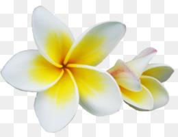 Cempaka Unduh Gratis Kelopak Bunga Cempaka Merah Bunga Kamboja Bunga Gambar Png