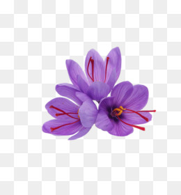 Bunga Saffron Unduh Gratis Saffron Crocus Musim Gugur Produk Rempah Rempah Bunga Saffron Gambar Png