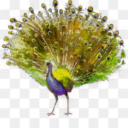 44 Koleksi Gambar Burung Merak Png HD Terbaik