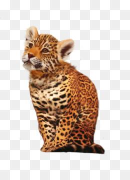 Harimau Siberia Harimau Benggala Buku Mewarnai Gambar Png