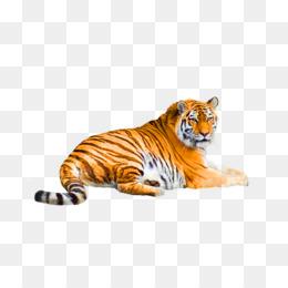 Buku Mewarnai Harimau Singa Gambar Png
